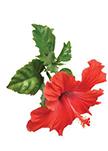 chinska roza - Phyto Life